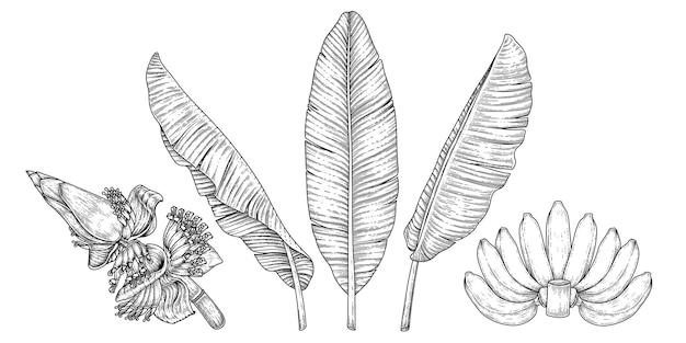 Liście bananowca i kwiat ręcznie rysowane retro ilustracja