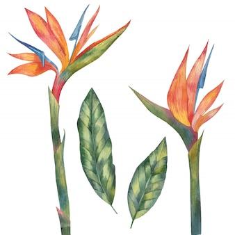 Liście i kwiaty tropikalny kwiat, afrykańskie strelitzia, rajski ptak akwarela malarstwo na białym tle