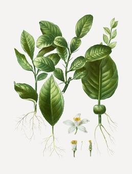Liście lipy kaffir