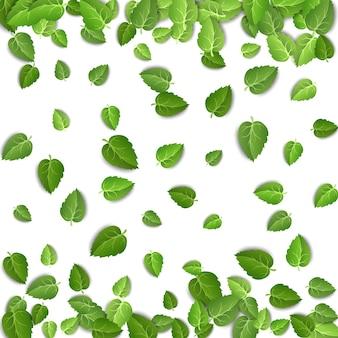 Liście zielonej herbaty na białym tle