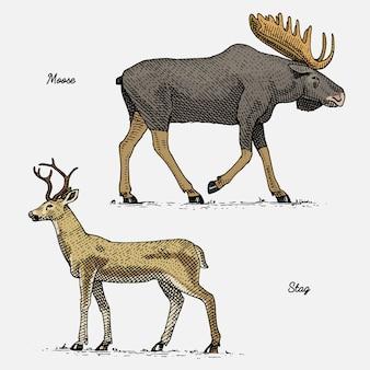 Łoś lub łoś eurazjatycki i jeleń lub jeleń, ręcznie rysowane, grawerowane dzikie zwierzęta w stylu vintage lub retro, zestaw zoologiczny