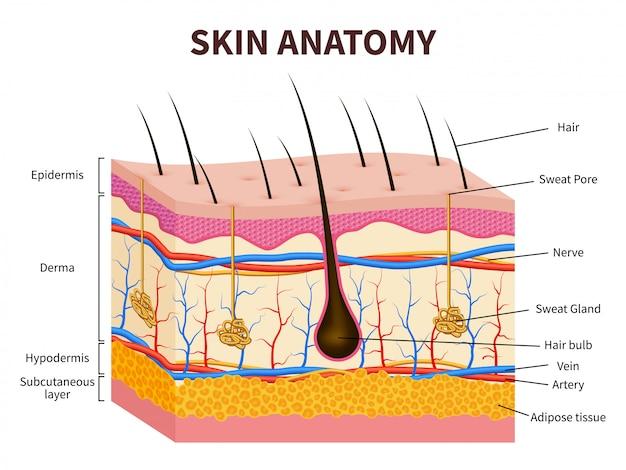 Ludzka skóra. warstwowy naskórek z mieszkiem włosowym, potem i gruczołami łojowymi. ilustracja anatomii zdrowej skóry