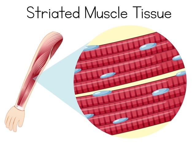 Ludzka tkanka mięśniowa prążkowana