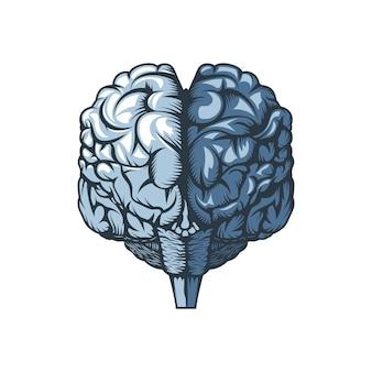 Ludzki mózg na białym tle, rysunek odręczny.