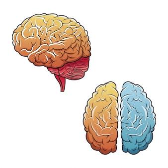 Ludzki mózg widok z góry i bok