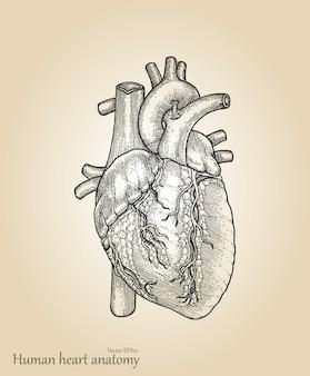 Ludzkie serce amatomy. serce rysunek styl vintage