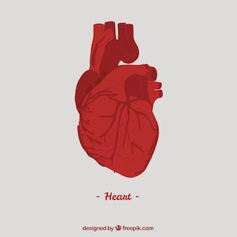 Ludzkie Serce Premium Wektorów