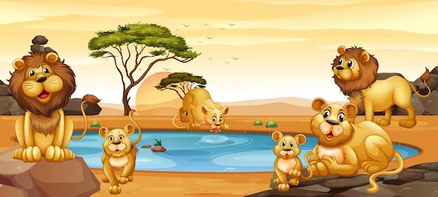 Lwy żyjące nad stawem