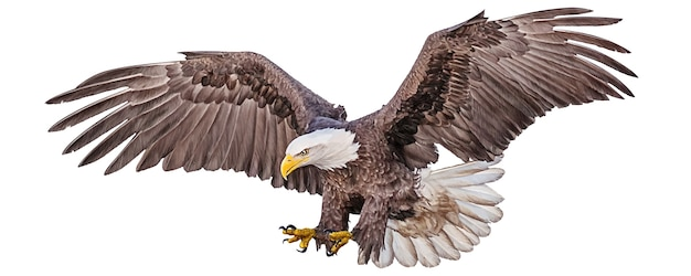 Łysego orła latający nurkowanie ręki remis i farba barwimy na bielu