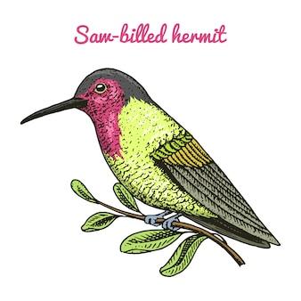 Mały ptak jakobin rudy i białoszyi. ikony egzotycznych zwierząt tropikalnych. szafir ze złotymi ogonami. użyj na wesele, przyjęcie. grawerowane ręcznie rysowane w starym szkicu.