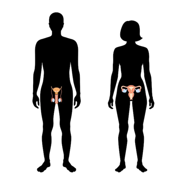Męski i żeński układ rozrodczy w sylwetce. macica i jajnik, jądra w ciele mężczyzny i kobiety.
