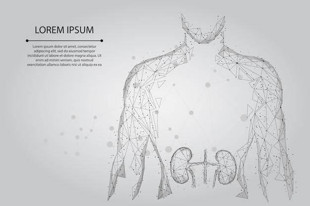 Mężczyzna sylwetka zdrowe nerki low poly szkielet. system urologiczny leczenie lekami low poly