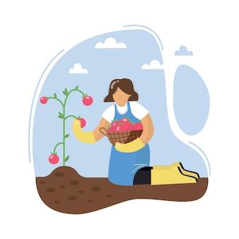 Młoda kobieta zbiera pomidory kobieta zbiera pomidory kobieta z koszem koncepcja ogrodnictwa