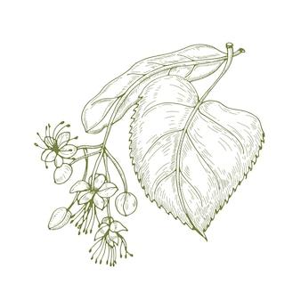 Monochromatyczny rysunek liści lipy i pięknie kwitnących kwiatów lub kwiatostanów.