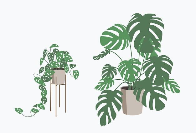 Monstera deliciosa i monkey mask rośliny w doniczce izolowane tropikalna roślina do wystroju wnętrz