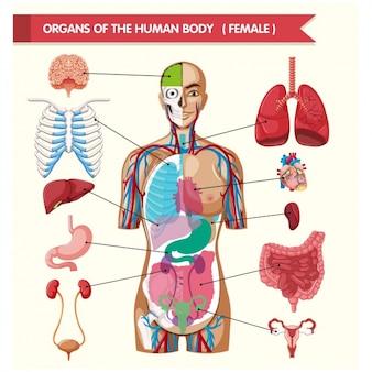 Narządów ciała ludzkiego