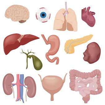 Narządy wewnętrzne części ciała ludzkiego ustawione na białym tle.