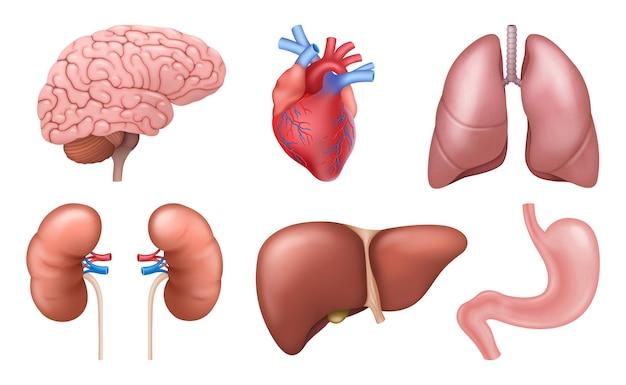 Narządy wewnętrzne. realistyczne elementy anatomii ludzkiego ciała, mózg serce nerki wątroba płuca żołądek