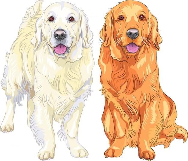 Naszkicuj dwa psy rasy golden retriever