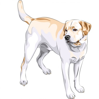Naszkicuj żółty pies rasy labrador retriever