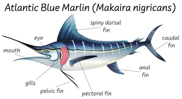 Nauka anatomii wewnętrznej ryb