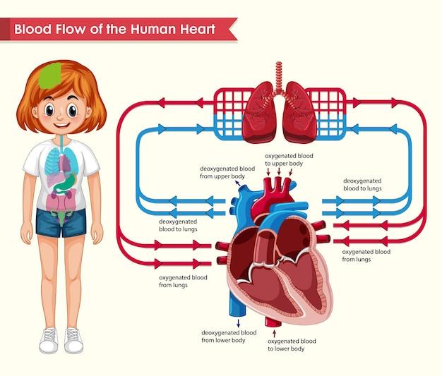 Naukowa ilustracja medyczna przepływu krwi