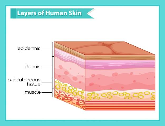 Naukowy medyczny plansza warstw skóry ludzkiej