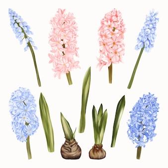 Niebieskie i różowe kwiaty hiacynty na białym tle