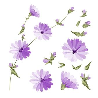 Niebieskie kwiaty cykorii.