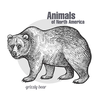 Niedźwiedź grizzly animal of north america.