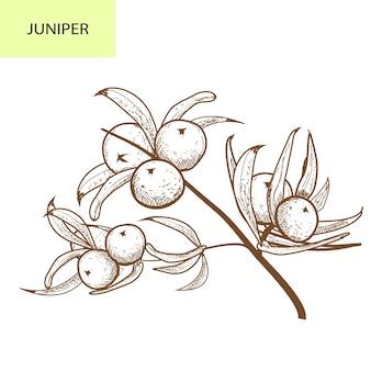 Oddział jałowca z jagodami. ręcznie rysowane ilustracja ziołowa jałowca w styl szkic