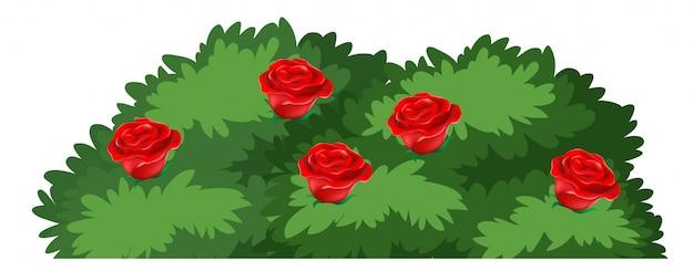 Odosobniony różany krzak na białym tle
