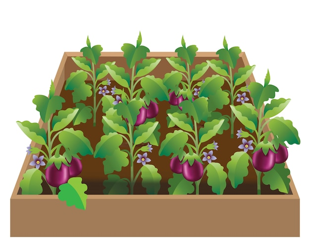 Ogród warzywny - bakłażan