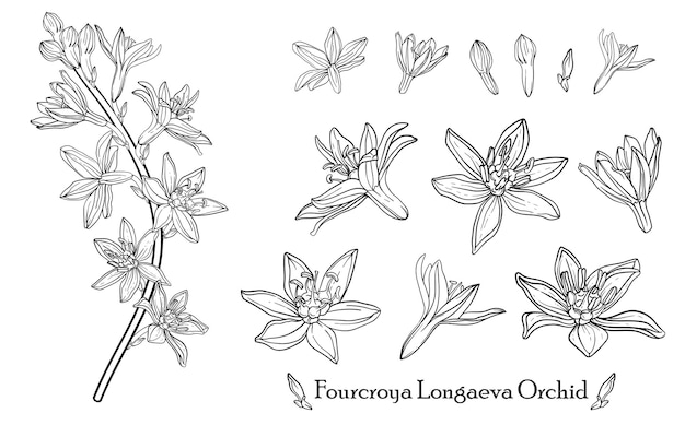 Orchidea fourcroya longaeva