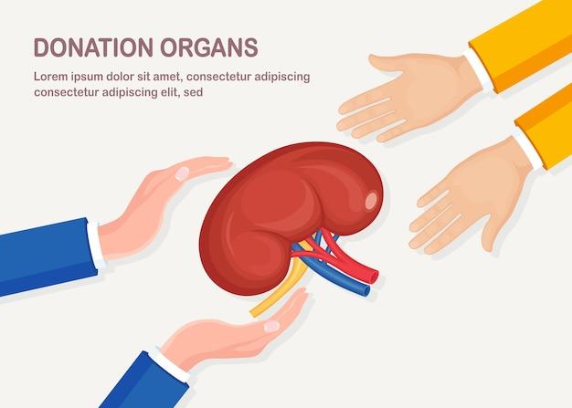 Organy dawstwa. ludzkie nerki z tętnicą i żyłą w ręku lekarza d na białym tle. anatomia narządów wewnętrznych, medycyna. wolontariat pomoc pacjentowi.