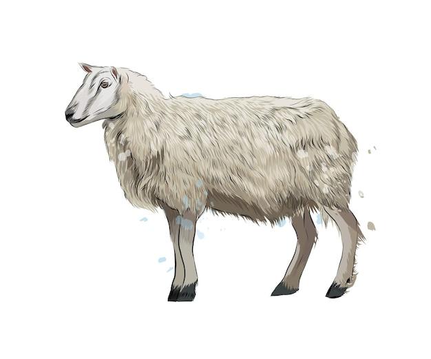 Owca z odrobiną akwareli, kolorowy rysunek, realistyczny. ilustracja wektorowa farb