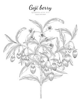 Owoce jagodowe goji ręcznie rysowane ilustracji botanicznych.
