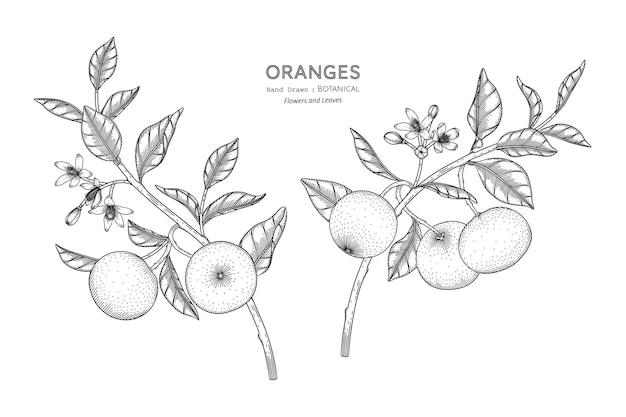 Owoce pomarańczy ręcznie rysowane ilustracja botaniczna z grafiką.