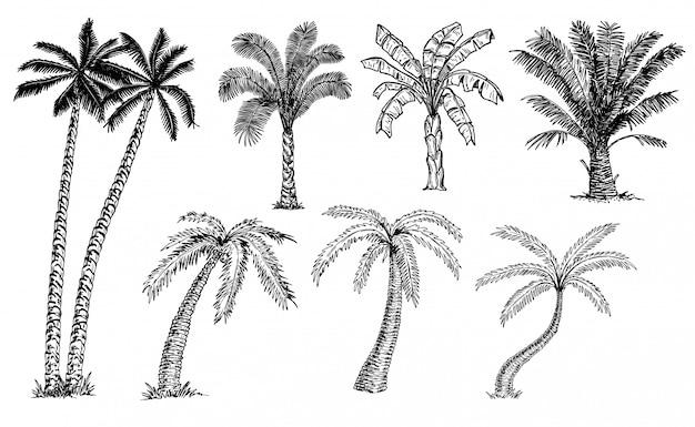 Palmy zestaw szkicu. różne rodzaje dłoni. palma bananowa, palma kokosowa, palma daktylowa. drzewa tropikalne.