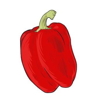 Papryka, chłodno przyprawa ilustracja. świeży organiczny warzywo, ostra słodka papryka w grawerowanym stylu.