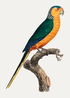 Papuga żółta
