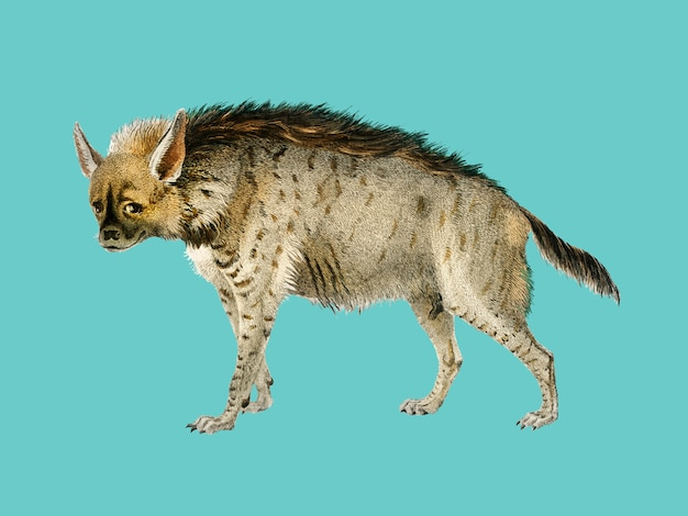 Pasiasta hiena (hyene rayee) zilustrowana przez charlesa dessalines d'orbigny (1806-1876).