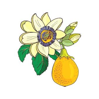 Passiflora passiflora, marakuja na białym tle. egzotyczny kwiat, pączek i liść. ilustracja lato do drukowania tekstyliów, tkanin, papieru do pakowania.