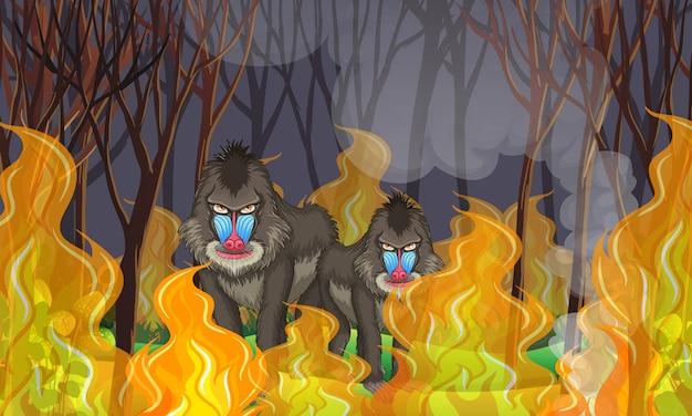 Pawiany w lesie pożarów