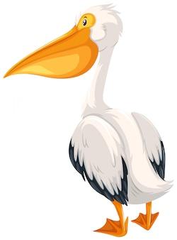 Pelikan na białym tle