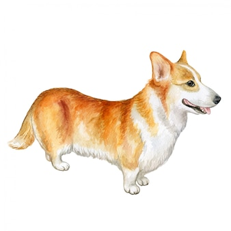 Pembroke welsh corgi dog. akwarela