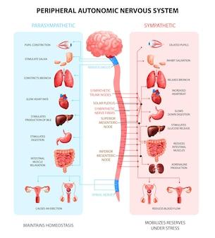 Peryferyjny autonomiczny układ nerwowy człowieka ze współczulnymi neuronami rdzenia kręgowego sygnalizuje komunikację w realistyczny, kolorowy schemat