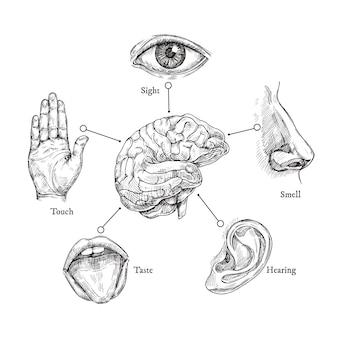 Pięć ludzkich zmysłów. naszkicuj usta i oko, nos i ucho, rękę i mózg. zestaw części ciała doodle