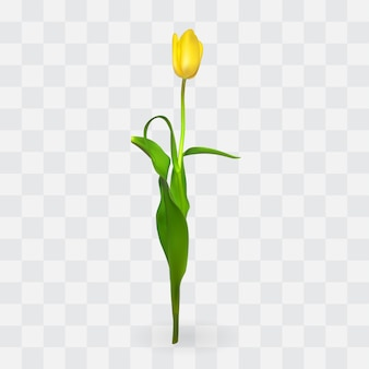 Piękne tulipany na przezroczystym tle.
