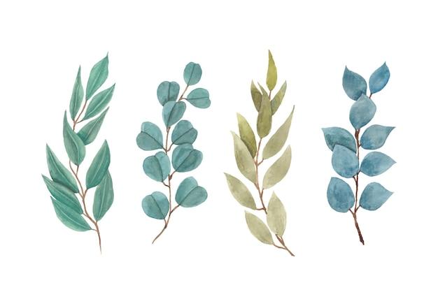 Piękne zielone liście eukaliptusa
